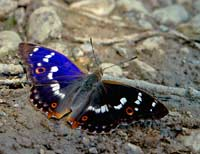 Purple emperor at the bank of Aiviekste